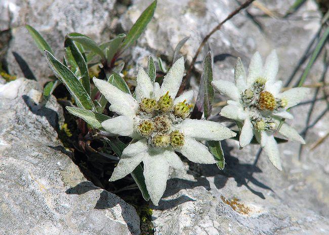 Plesnivec alpínsky Leontopodium alpinum