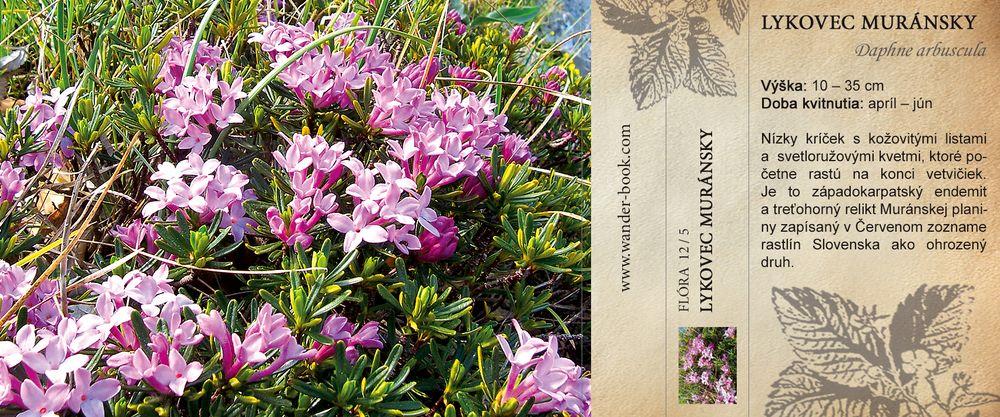 Lykovec muránsky Daphne arbuscula
