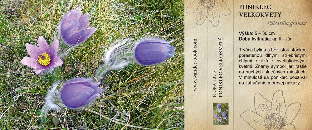 Poniklec veľkokvetý Pulsatilla grandis