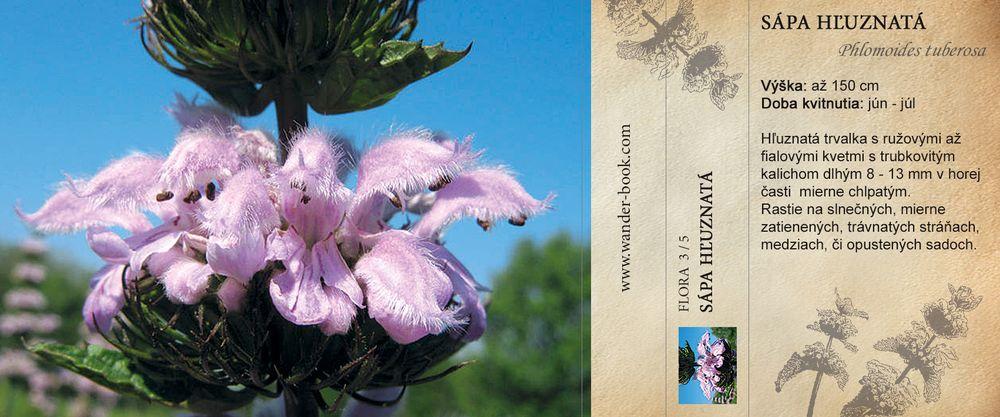 Sápa hľuznatá, Phlomoides tuberosa
