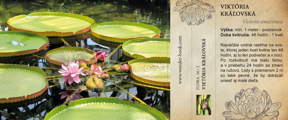 Viktória kráľovská, Victoria amazonica