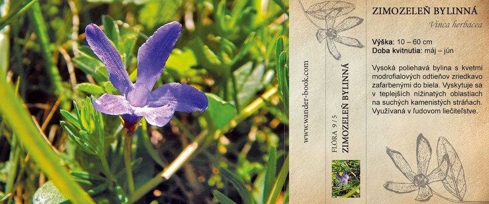 Zimozeleň bylinná Vinca herbacea